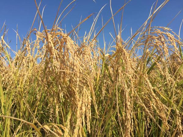 6‰盐度的耐盐碱水稻的小面积测产最高产量:620.95公斤。 澎湃新闻记者 郑朝渊 图