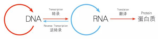 DNA与RNA之间的关系。