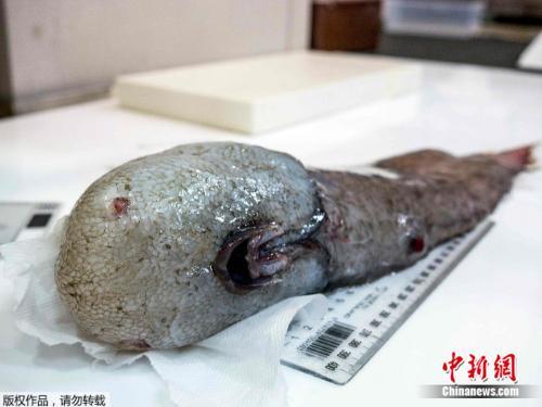 无脸鱼身长约40公分,在4000米的深海生活。