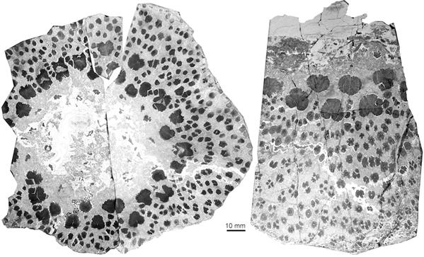 新疆塔城地区晚泥盆世枝蕨类植物茎干横切面左图为一个较小树干的完整横切面,右图为一个较大树干的局部