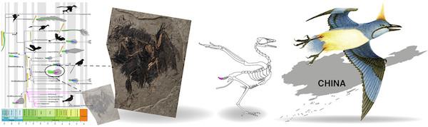 发现于1.3亿年前的具有犁状尾综骨和奇特后肢羽毛的多齿胫羽鸟