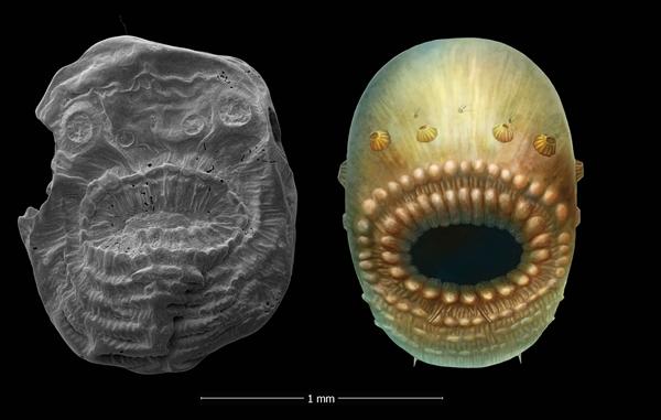 陕南寒武纪宽川铺组毫米级微型动物化石――冠状皱囊虫图左为皱囊虫标本,图右为其复原图