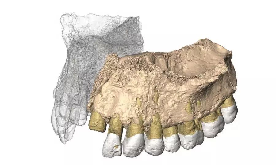上颌骨碎片与缺失部分的复原图。来源:赫斯科维兹教授